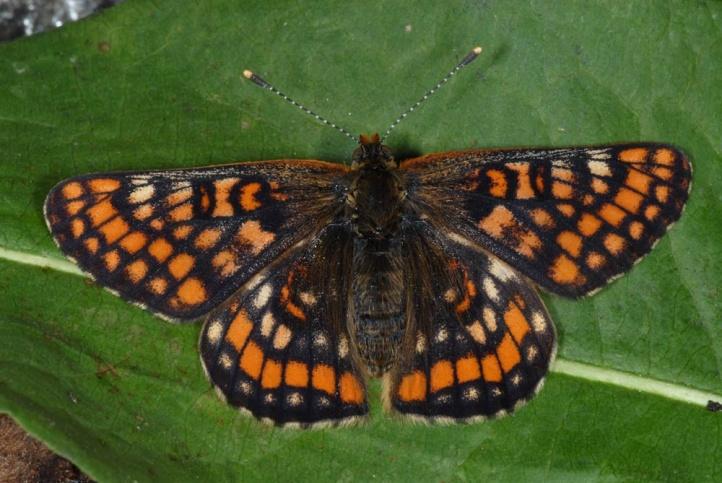 Euphydryas-intermedia-Shashechnica-promezhutochnaya1.jpg