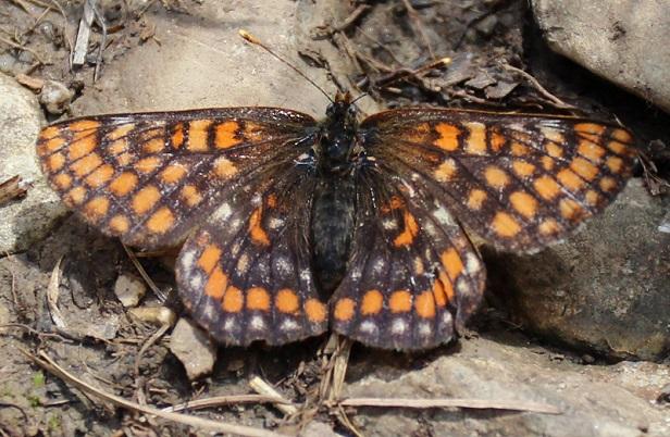 Euphydryas-intermedia-Shashechnica-promezhutochnaya2.jpg