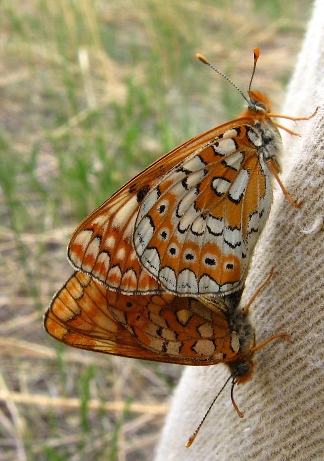 Euphydryas-sibirica-Staudinger-1861-Shashechnica-sibirskaya1.jpg