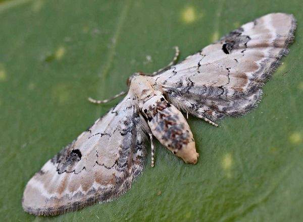 Eupithecia-centaureata-Pyadenica-cvetochanaya-udlinennaya1.jpg