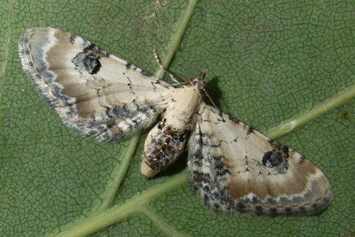 Eupithecia-centaureata-Pyadenica-cvetochanaya-udlinennaya2.jpg