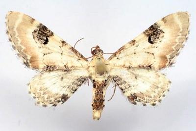 Eupithecia-centaureata-Pyadenica-kolokolchikovaya.jpg