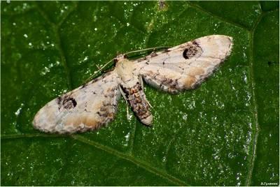 Eupithecia-centaureata-Pyadenica-kolokolchikovaya1.jpg