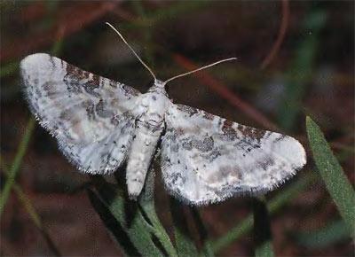 Eupithecia-gratiosata-Pyadenica-cvetochnaya-belovataya.jpg