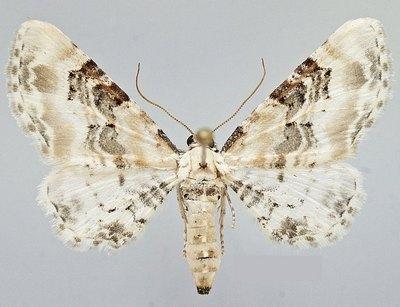 Eupithecia-gratiosata-Pyadenica-cvetochnaya-belovataya1.jpg