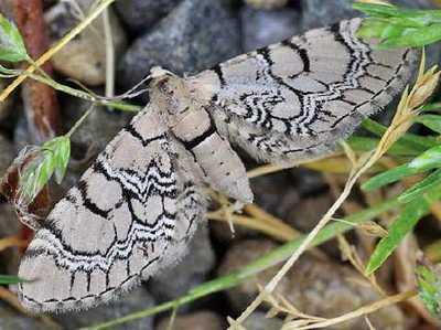 Eupithecia-venosata-Pyadenica-cvetochnaya-setchataya.jpg