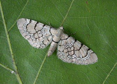 Eupithecia-venosata-Pyadenica-cvetochnaya-setchataya1.jpg