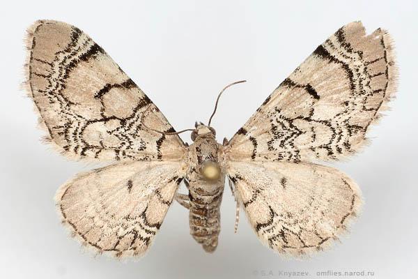 Eupithecia-venosata-Pyadenica-cvetochnaya-setchataya2.jpg