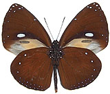 Euploea-leucostictos-Evploya-belotochechnaya.jpg