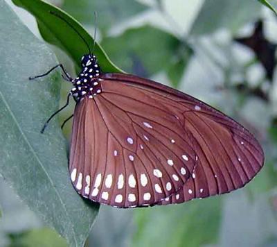 Euploea-mulciber-Evploya-mulciber2.jpg