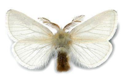 Euproctis-chrysorrhoea-Zlatoguzka.jpg