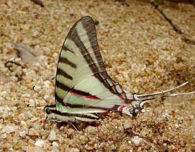 Eurytides-agesilaus-Evretida_agesilai.jpg