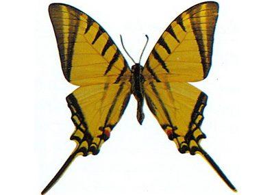 Eurytides-agesilaus-Evretida_agesilai1.jpg