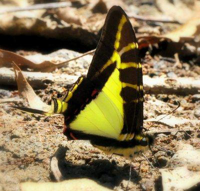 Eurytides-calliste-Evritida-kallista