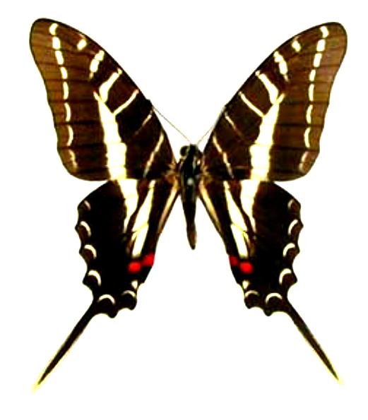 Eurytides-philolaus-Evritida-filolai