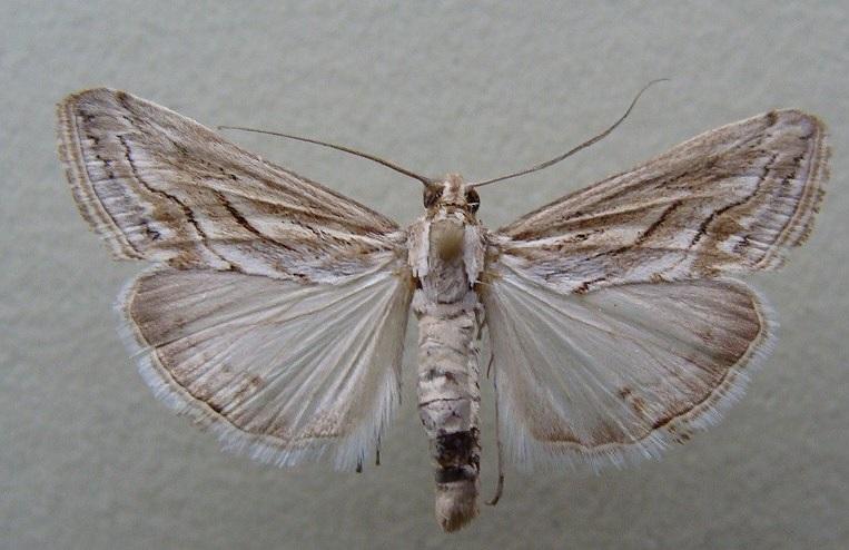 Evergestis-desertalis-Hubner-1813-Ognevka-krestocvetnaya-peschanaya