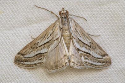 Evergestis-desertalis-Hubner-1813-Ognevka-krestocvetnaya-peschanaya1.jpg