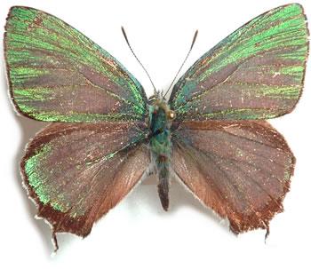 Favonius-orientalis-Murray-1875-Zefir-vostochnyi