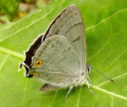 Favonius-saphirinus-Zefir-sapfirovyi