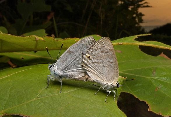 Favonius-saphirinus-Zefir-sapfirovyi1.jpg