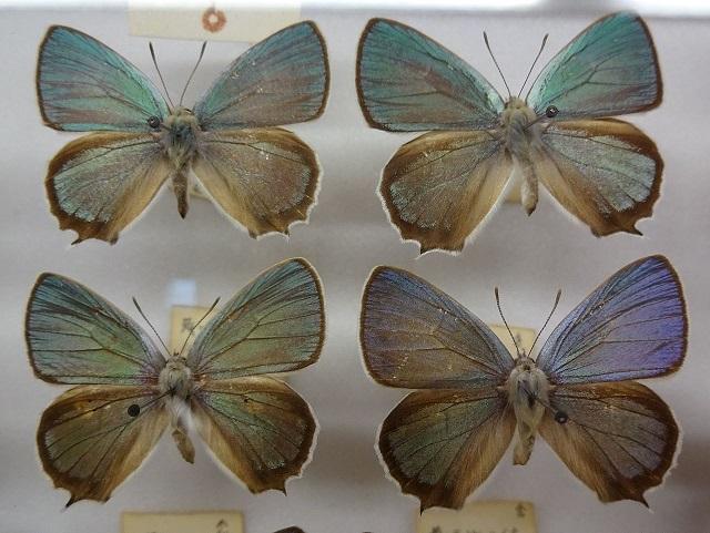 Favonius-saphirinus-Zefir-sapfirovyi2.jpg