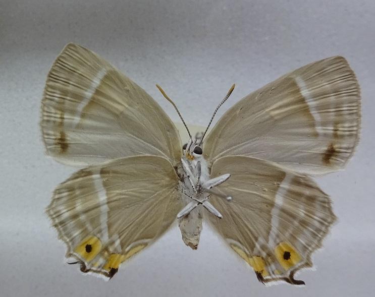 Favonius-ultramarinus-Fixsen-1887-Zefir-ultramarinovyi