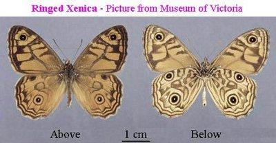 Geitoneura-acantha1.jpg