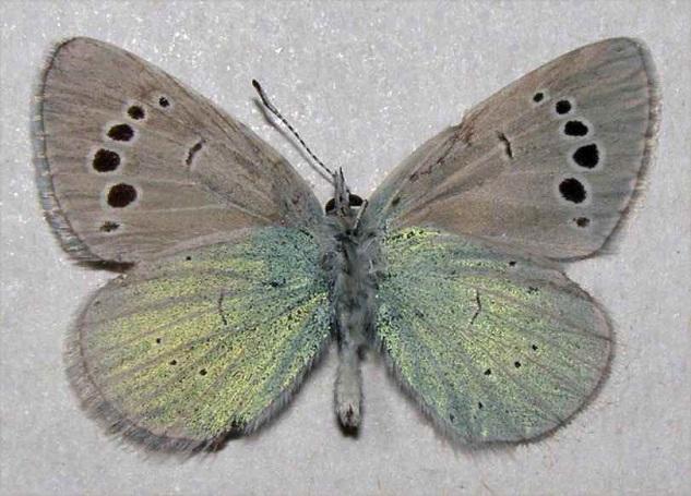 Glaucopsyche-laetifica-Pungeler-1898-Golubyanka-radostnaya