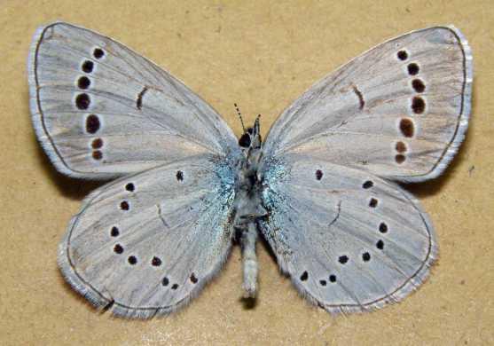 Glaucopsyche-lycormas-Butler-1866-Golubyanka-likorm