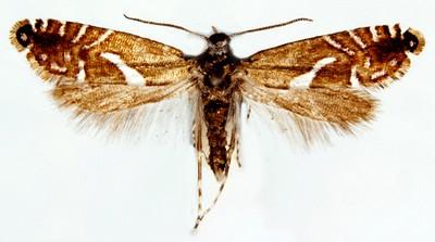 Glyphipterix-forsterella-Glifepterigida-forstera.jpg