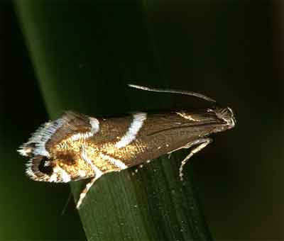 Glyphipterix-forsterella-Glifepterigida-forstera1.jpg