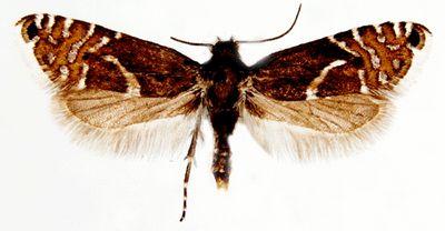 Glyphipterix-haworthana1.jpg