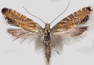 Glyphipterix-thrasonella.jpg