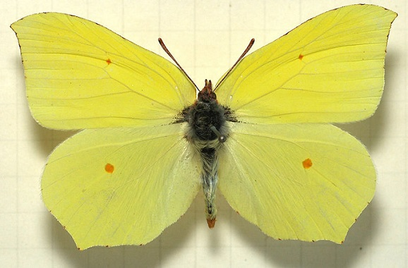 Gonepteryx-maxima-Butler-1885-Limonnica-bolshaya