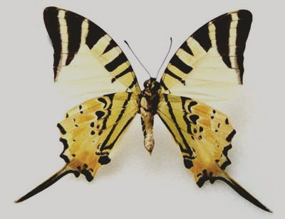 Graphium_antiphates-Grafiya_antipat1.jpg