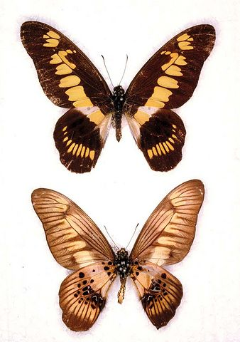 Graphiumlatreillanus-Grafiya_latrellyan.jpg