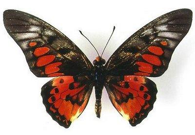 Graphiumridleyanus-Grafiya_ridleyan.jpg