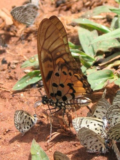 Graphiumridleyanus-Grafiya_ridleyan1.jpg