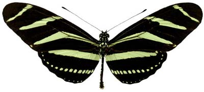 Heliconius-charithonia-Gelikoniya-haritoniy.jpg