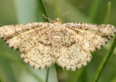 Heliomata-glarearia-Pyadenica-gladkonogaya-zhelto-buraya.jpg