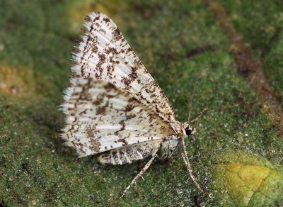 Heliomata-glarearia-Pyadenica-gladkonogaya-zhelto-buraya1.jpg