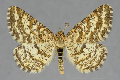 Heliomata-glarearia-Pyadenica-gladkonogaya-zhelto-buraya2.jpg