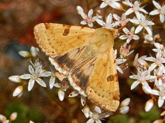 Heliothis-peltigera-Sovka-shalfeinaia