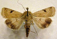 Heliothis-peltigera-Sovka-shalfeinaia1.jpg