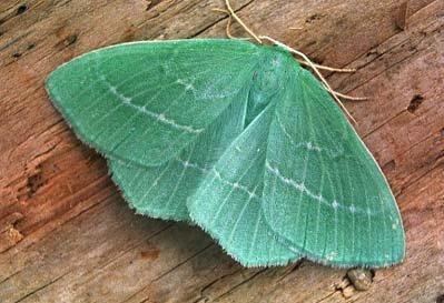 Hemistola-chrysoprasaria-Pyadenica-zelenaya-malaya.jpg