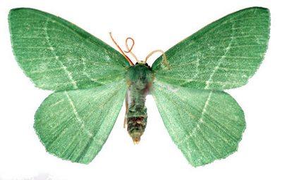 Hemistola-chrysoprasaria-Pyadenica-zelenaya-malaya1.jpg