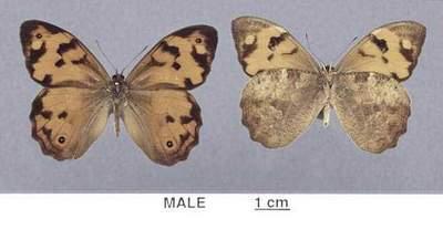 Heteronympha-mirifica.jpg
