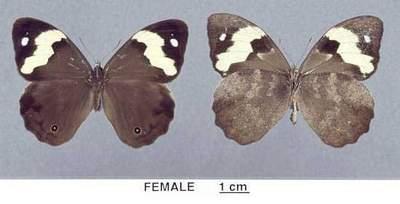 Heteronympha-mirifica2.jpg