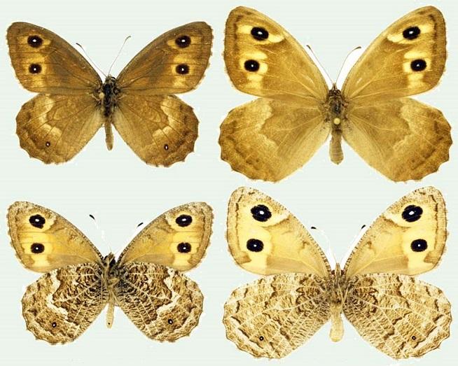 Hipparchia-autonoe-Esper-1783-Barhatnica-avtonoya