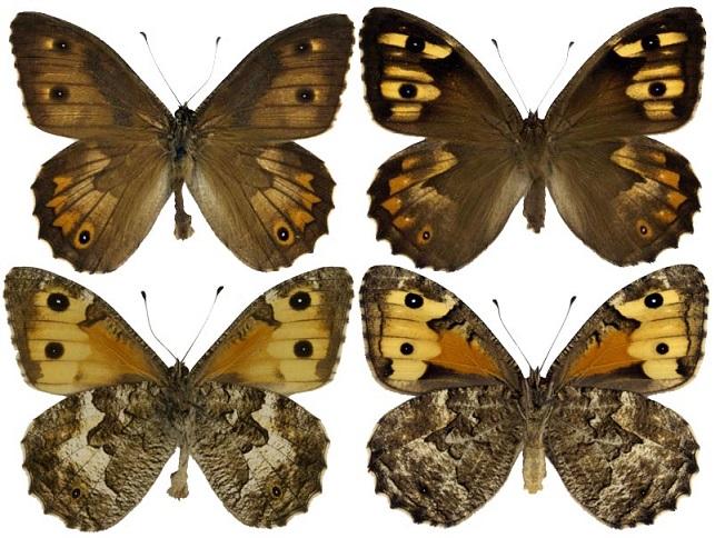 Hipparchia-pellucida-Stauder-1924-Barhatnica-azhurnaya2